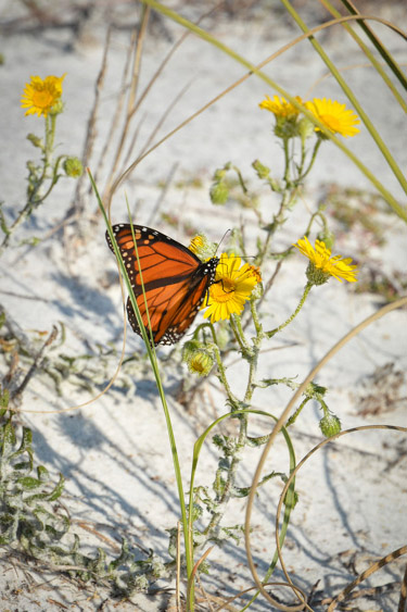 Monarch butterfly on the beach at Camp Helen State Park.