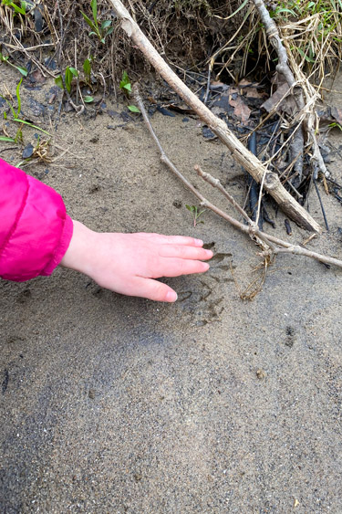 Racoon Tracks at Creekside Nature Park