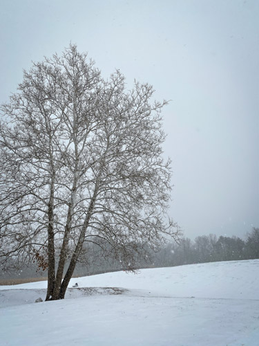 View of large tree at the bottom of the Fort Harrison State Park sledding hill.