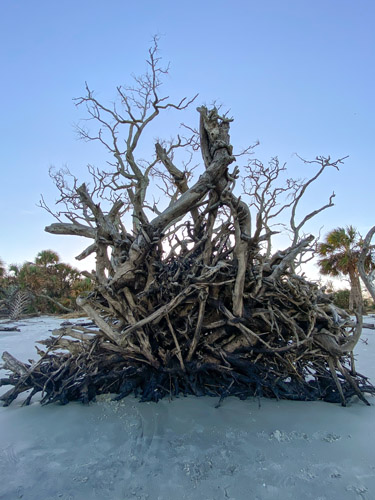 Driftwood tree roots