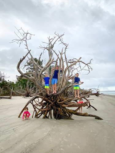 Five kids climbing on a driftwood tree on St Andrew's Beach West.