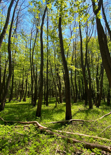 View of a forest from the Oak Openings Sand Dunes Trail.